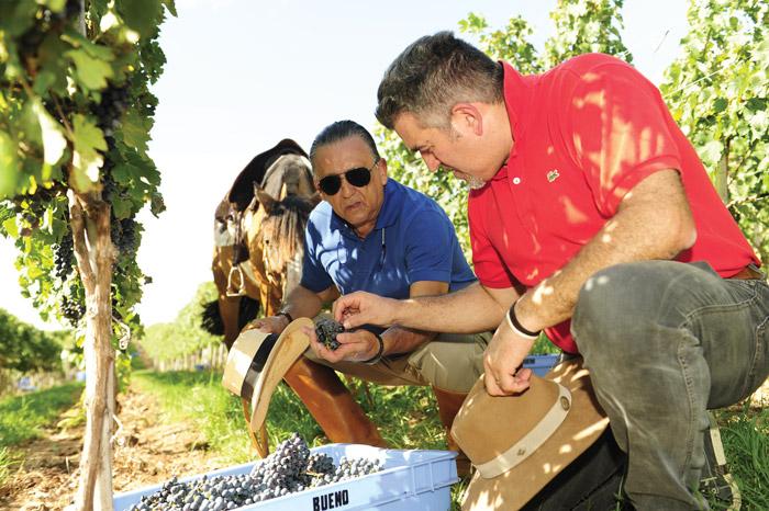 A colheita do Sangiovese, base dos mais finos brunellos. Foto: divulgação